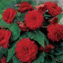 Begonia Pendula Red 2sztuki