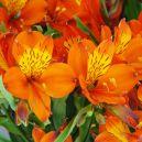Alstroemeria Orange King