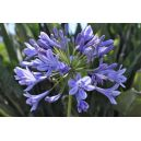 Agapant (Agapanthus) Blue
